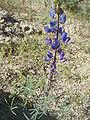 Lupinus-sparsiflorus-20080322.JPG