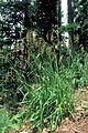 Luzula parviflora 1213029.jpg