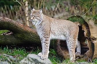 Lynx (16867658628).jpg