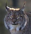 Lynx 4 (8489706062).jpg