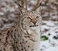 Lynx Image.jpg