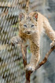 Lynx Kitten Balanced and Looking (15067491348).jpg