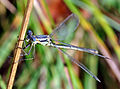 Lyre-Tipped Spreadwing (Lestes unguiculatus) (6114768264).jpg
