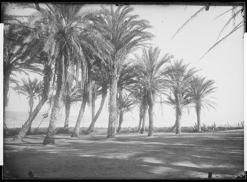 MHNT - Trutat - Les palmiers d'Alger, Algerie, 1881