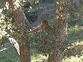 Macaque berbère à Ziama Mansouriah 9 (Algérie).jpg
