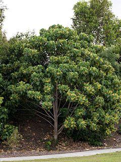 <i>Macaranga tanarius</i> Pioneer rainforest tree species