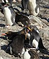 Macaroni Penguins air-cushioning (5892988552).jpg