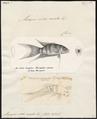 Macropus viridi-auratus - 1700-1880 - Print - Iconographia Zoologica - Special Collections University of Amsterdam - UBA01 IZ13800013.tif