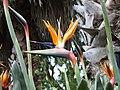 Madeira - Monte - Jardim Tropico (2093408840).jpg