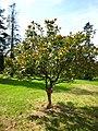 Magnolia grandiflora.jpg