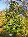Magnolia grandiflora (8).JPG