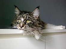 Le maine coon wikipedia
