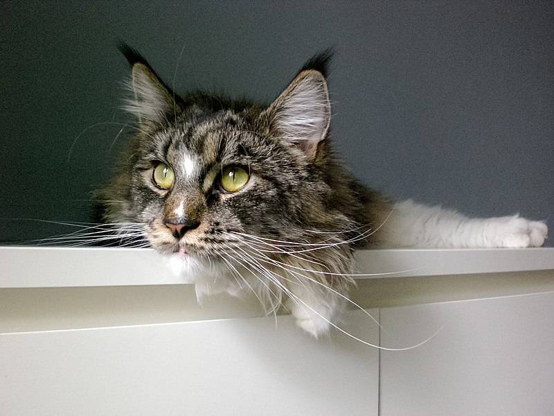 Maine Coon cat Bambi