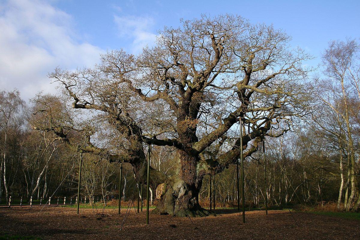 Shawshank Redemption Tree Major Oak Wikipedia Wolna Encyklopedia