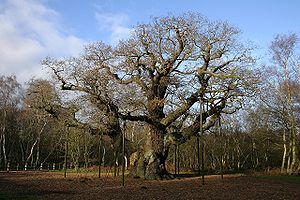Major Oak in Sherwood Forest in 2006.jpg