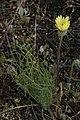Malacothrix californica 8166.JPG