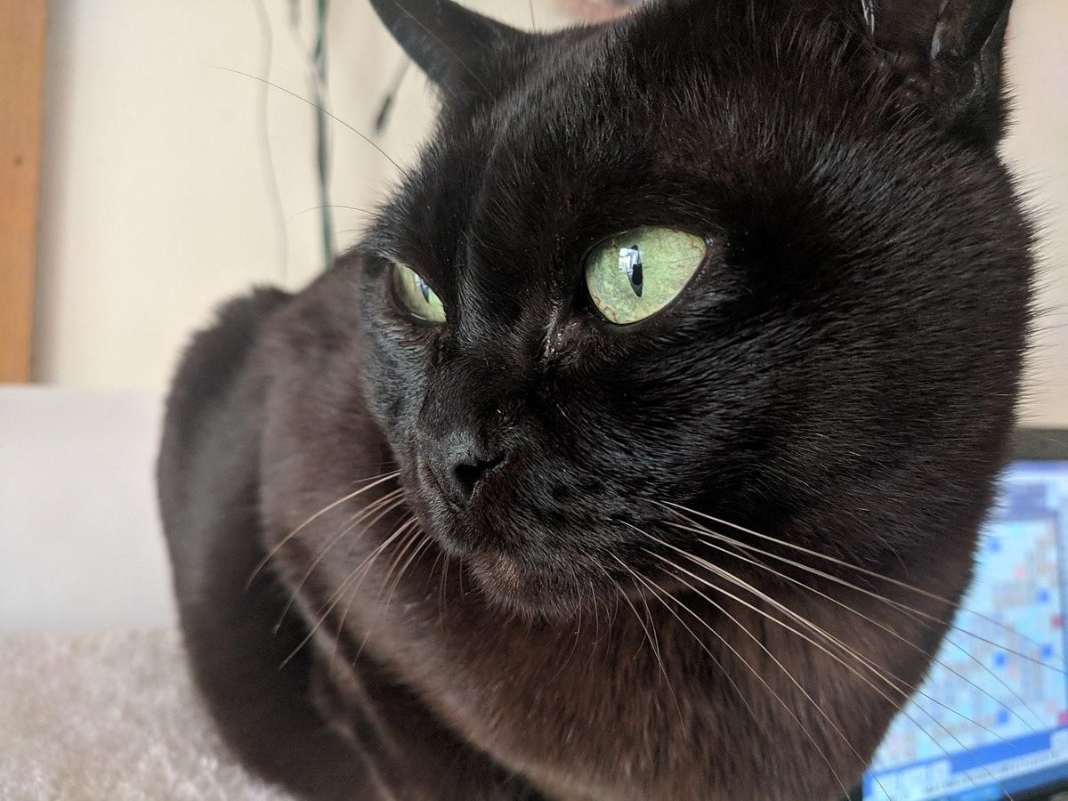 Burmese cat - Wikipedia