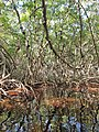 Malpighiales - Rhizophora mangle - 14.jpg