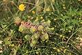 Malta - Marsaxlokk - Triq Delimara - Xrobb L-Ghagin - Euphorbia pinea 01 ies.jpg