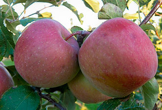 Fuji (apple) - Image: Malus Fuji