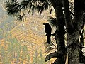 Manang Crow.jpg