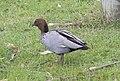 Maned Duck (Chenonetta jubata) (31283136775).jpg