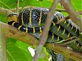 Mangrove Snake (Boiga dendrophila annectens) (8082908158).jpg