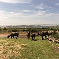 Many Buffaloes Near Phuket International Airport(HKT) - panoramio.jpg