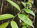 Marcgravia umbellata (Marcgraviaceae) 03.jpg