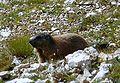 Marmotta sullo Sciliar.JPG