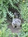 Marmottons.jpg