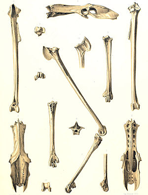 Mascarene coot - First known fossil remains, 1866