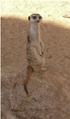 Meerkat Dubbo.png