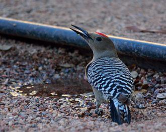 Gila woodpecker - Image: Melanerpesuropygiali sdrinking