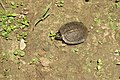 Melanochelys trijuga Yathumon M A 2.jpg