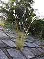 Melica ciliata subsp. ciliata sl4.jpg