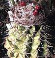 Melocactus guaricencis.jpg
