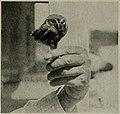 Micrathene whitneyi in hand 1912.jpg