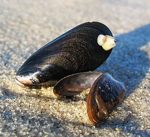 Mytilidae - Two shells of Mytilus edulis washed up on a beach