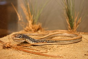 Description de l'image Mimic Glass Lizard (2289044746).jpg.