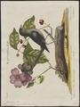 Mimus carolinensis - 1700-1880 - Print - Iconographia Zoologica - Special Collections University of Amsterdam - UBA01 IZ16300333.tif