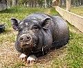 Mini pig 2.jpg
