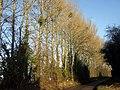 Mistletoe in the poplars - geograph.org.uk - 1758051.jpg