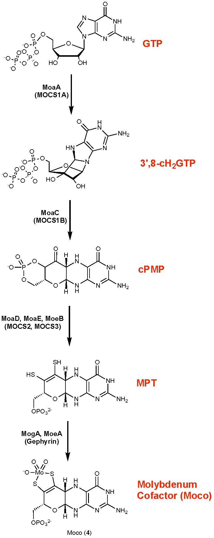 Moco Biosynthetic Pathway.pdf