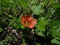Modiola caroliniana flower4 (14647324161).jpg
