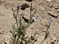 Modoc gilia, Gilia modocensis (16329867051).jpg
