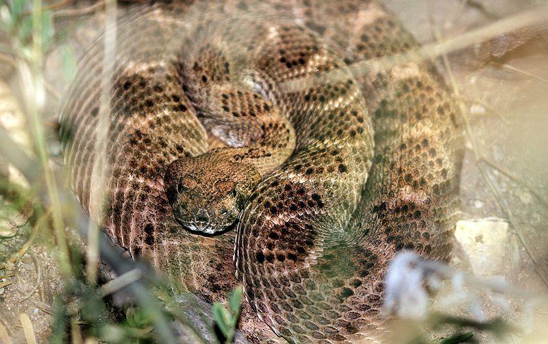 File:Mohave Rattlesnake - Flickr - GregTheBusker.jpg