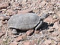 Mojave Desert Tortoise (Gopherus agassizii) (6012502158).jpg