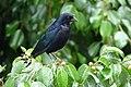 Molothrus bonariensis (Chamón parásito) - Flickr - Alejandro Bayer (1).jpg