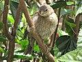 Molotrhus bonariensis (Chamón parásito) - Pichón (14374892061).jpg